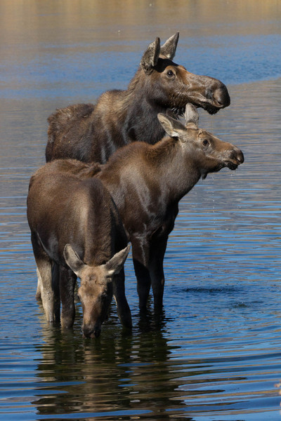 Cow Moose with calves