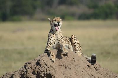 You've got to be kidding!!!! Cheetah Maasai Mara Kenya 2011