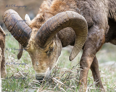 its been several years since I've seen any rams that I was able to photograph. After shooting wild horses and heading home we came across 7 rams along the side of the road  just outside of Empire.
