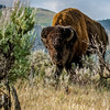 American Bison, Lamar Valley