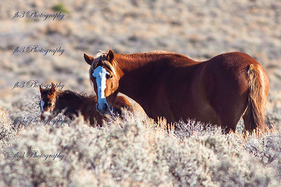 "These are the wild horses of ""Wild Horse Mesa"" located in souther Colorado. She was being a good mom and kept the colt between me and her most of the time. I was lucky enough to get a few shots of the colt"