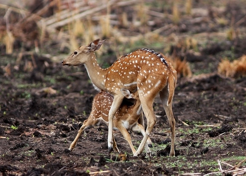 A spotted Deer fawn suckles milk