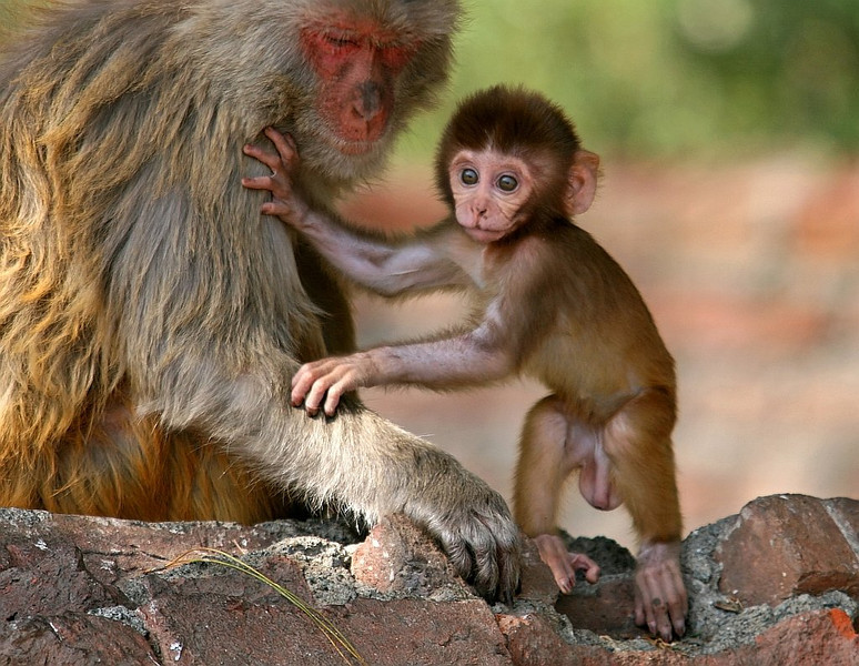 Rhesus Macaque kid learms to walk