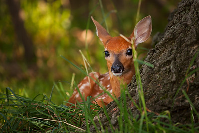 This young fawn is less than a day old in this photo - born in my neighbor's backyard early in the morning on 6-9-2011