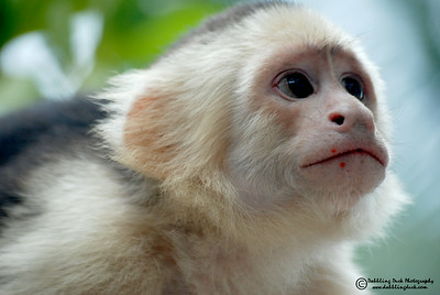 White-headed capuchin monkey, Cebus capunicus, Honduras (that's fruit pulp on her face)