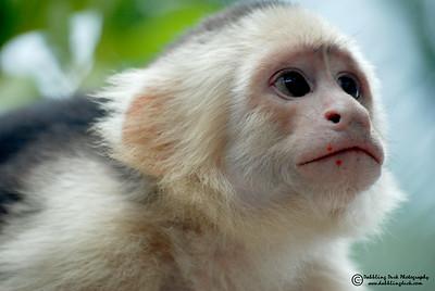 White-headed capuchin monkey, Cebus capunicus, Honduras (that's fruit pulp on her face)