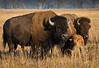 American Bison- Family Portrait