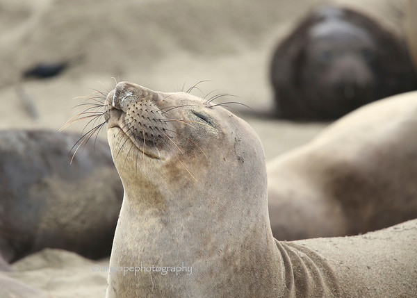 Contented Seal