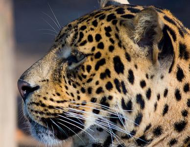 Jaguar shot taken at the Houston Zoo in February 2009
