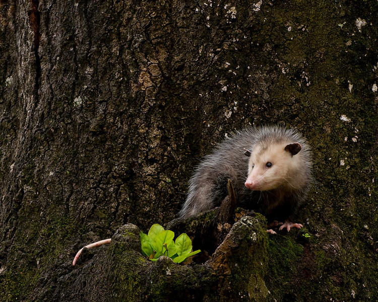 A South Alabama possum
