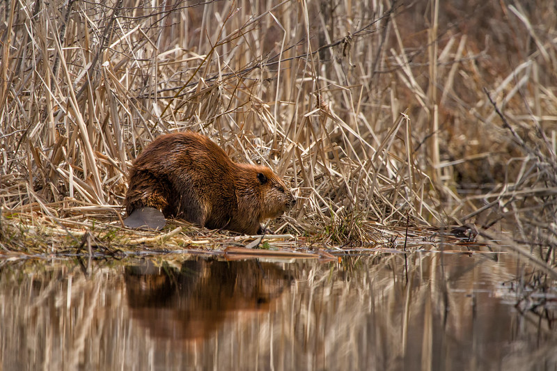 Beaver in Typha, Erie Lake near Salmo, BC, April 2012