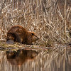 Beaver in Typha, Erie Lake near Salmo, BC, April 2012