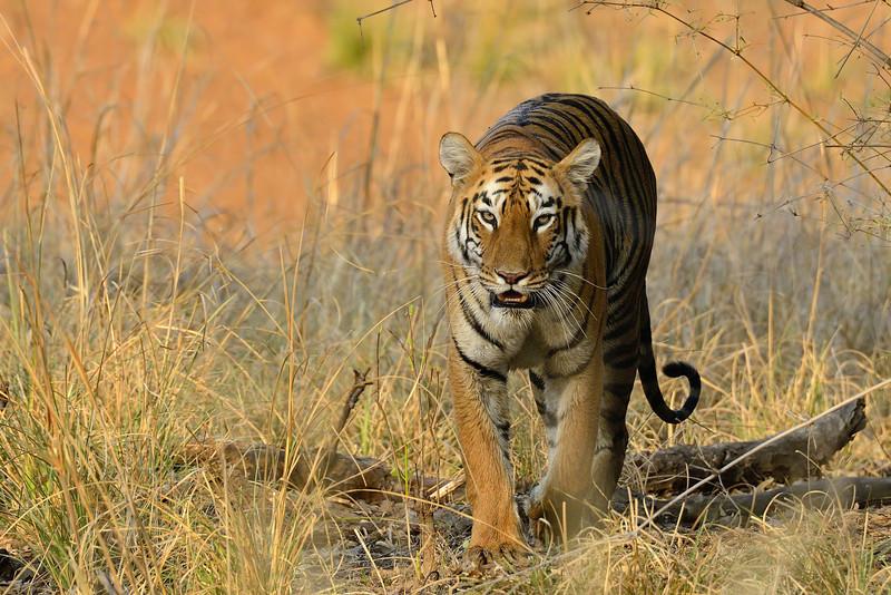 Cat walk - Beautiful Tigress named Maya