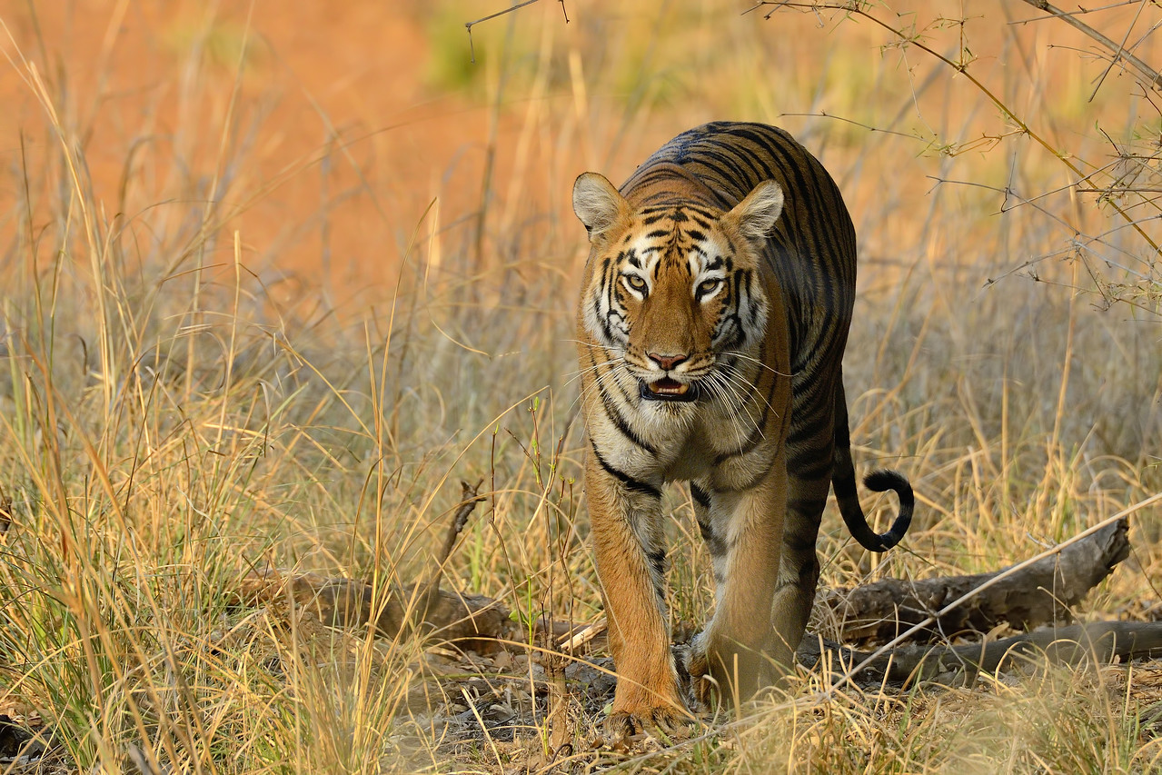 Cat walk - Beautiful Tigress named Maya