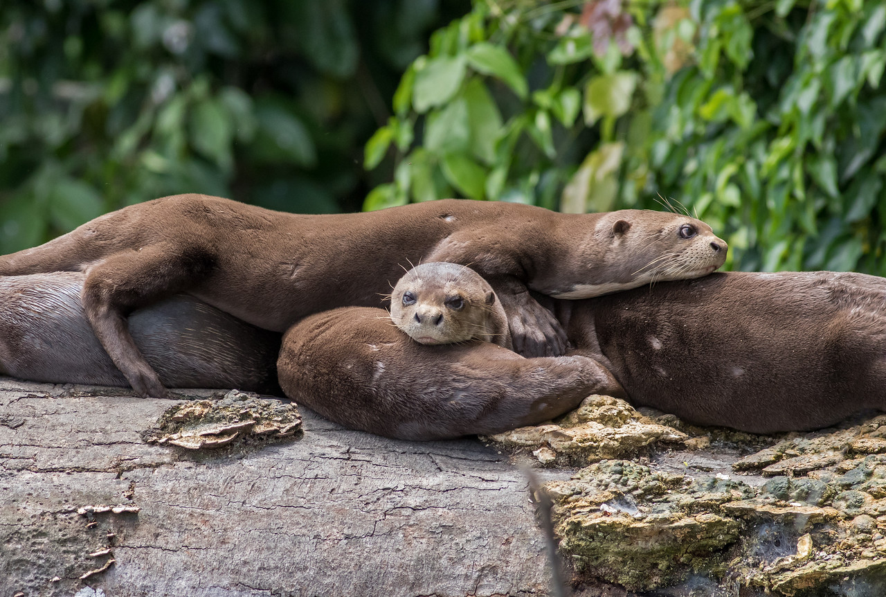 Family of Giant River Otters (Pteronura brasiliensis)