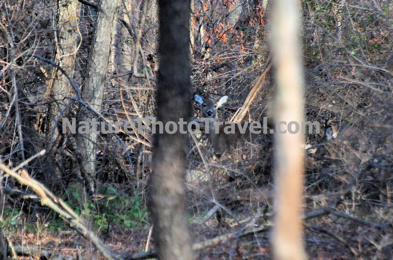 Deer (between trees): taken during hike at John Heinz Wildlife Refuge, Philadelphia, PA