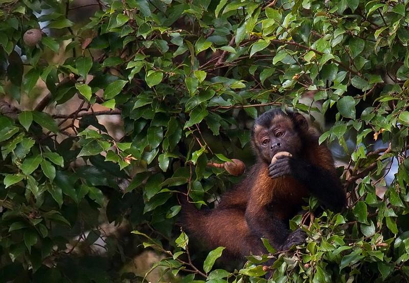 Brown Capuchin Monkey<br /> Mamiraua Reserve, Amazon, Brazil