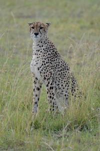 Cheetah in the Mara 2011
