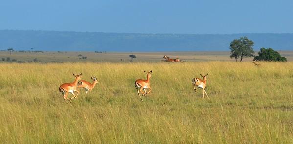 Morning run in the Mara.