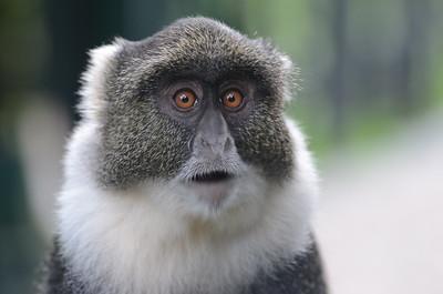 Blue Monkey Mount Kenya Sykes' race Kenya 2011