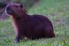 Capybara Baby