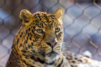 Jaguar Houston Zoo taken February 2009