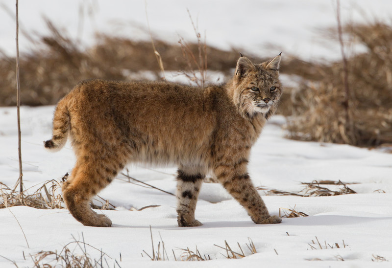 Bobcat-Colorado