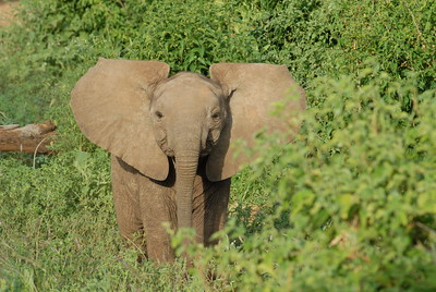 Young Elephant Kenya 2006