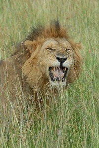 Male Lion Maasai Mara Kenya 2006