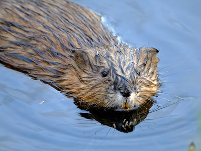 North American River Otter - Lontra canadensis.