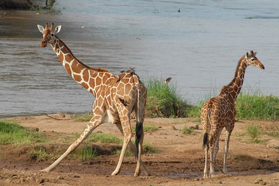 Reticulated Giraffe Samburu National Reserve Kenya 2006