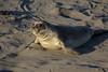 Northern elephant seal (<i>Mirounga angustirostris</i>)  near Monterey, CA