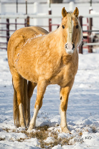 Goldie In Snow