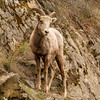 Bighorn Sheep ewe near Deer Park, BC, April 2012