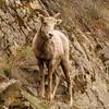 Bighorn Sheep ewe near Deer Park, BC, April 2012
