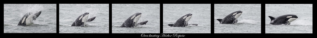 A sequence of photos showing an Orca hunting and killing a Harbor Porpoise in the San Juan Islands near Anacortez, WA.