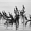 Double-crested Cormorants, Salton Sea, Imperial County, California