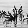 Double-crested Cormorants, Salton Sea, Imperial County, California