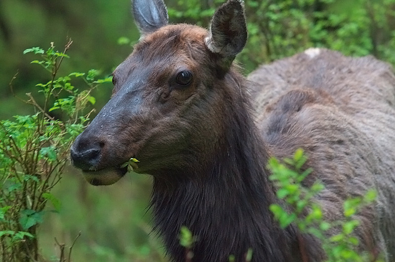 Roosevelt elk (<i>Cervus canadensis roosevelti</i>) Hoh Rainforest Olympic National Park, Washington