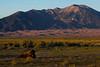 American Bison (<i>Bison bison</i>) The Nature Conservancy's Medano-Zapata Preserve Colorado, USA