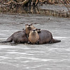 River otters taken in the winter. Photo taken by Jerry Dalrymple