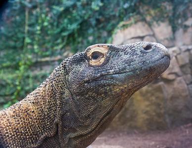 Komodo Dragon Houston Zoo, taken February 2009