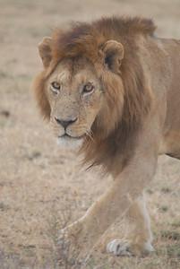 Male Lion Tanzania 2008