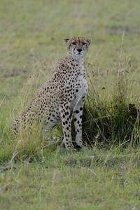 Cheetah Maasai Mara Kenya 2011