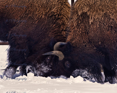 Buffalo playing in the snow. Rocky Mtn Arsenal Wildlife Refuge