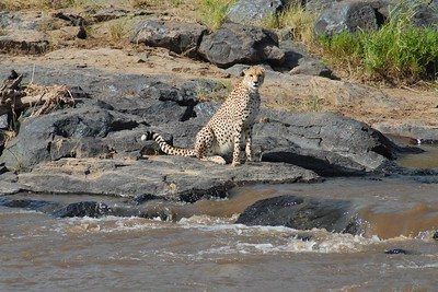 Cheetah Kenya 2006