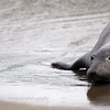 Young Elephant Seal on the Beach