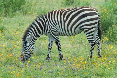 Common Zebra Ngorongoro Crater Tanzania 2008