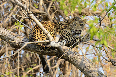 Leopard on a tree at Tadoba