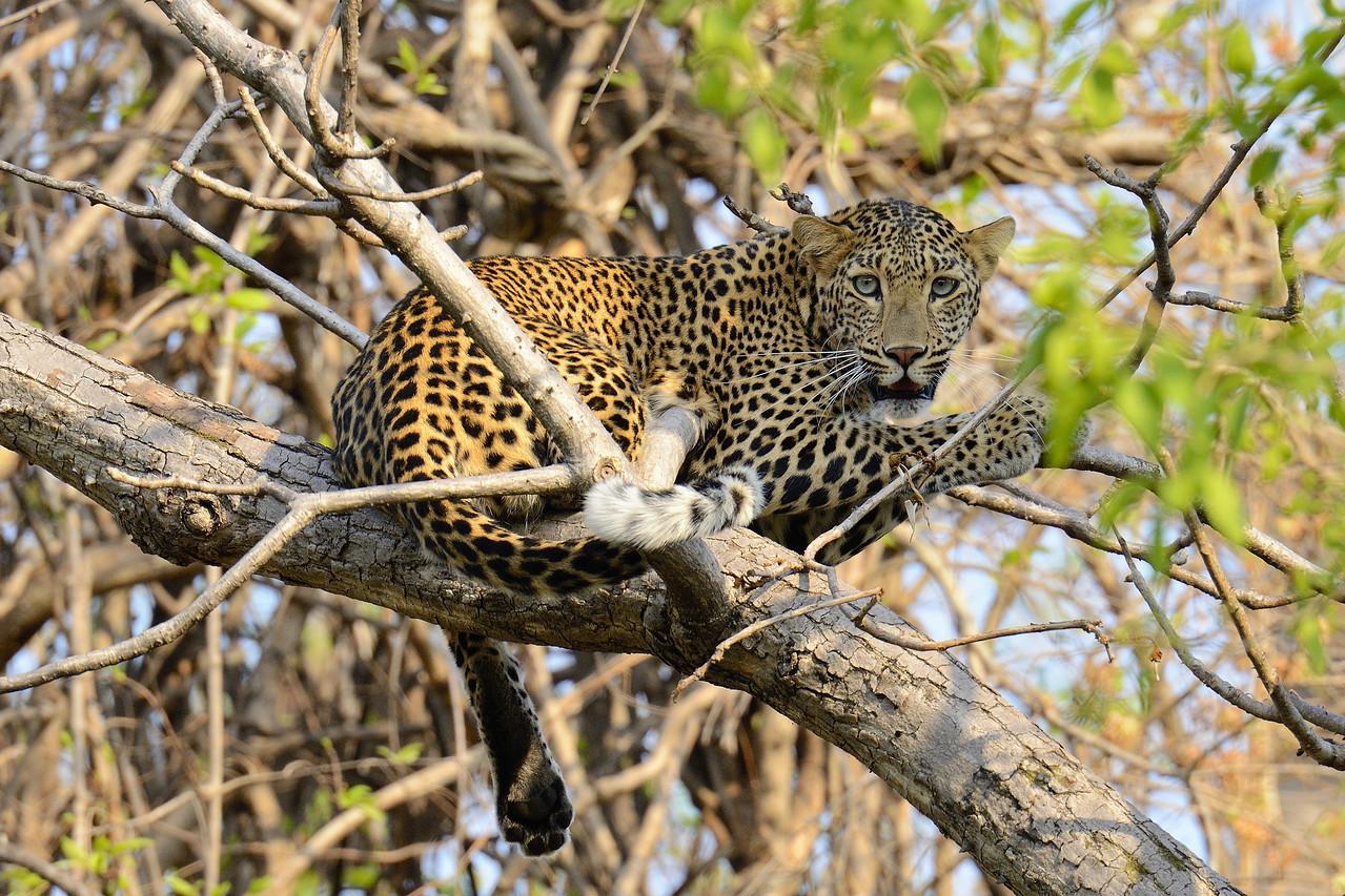 Leopard on a tree at Tadoba